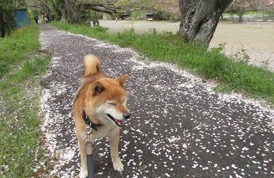 柴犬の業平さん
